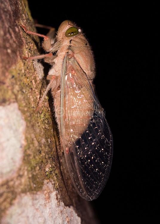Unknown cicada from the rainforest of Rio Cristalino, Mato Grosso, Brazil.