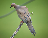 Mourning Dove. Image taken with a Nikon D5 camera and 600 mm f/4 VR telephoto lens (ISO 1150, 600 mm, f/5.6, 1/1250 sec).