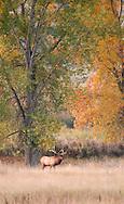 Bull elk, rut, Cervus Canadensis, Charles M Russell National Wildlife Refuge, Montana, autumn