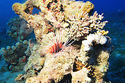 Israel, Eilat, Red Sea, - Underwater photograph of a radial Lionfish Pterois radiata