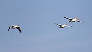 Pelicans at the Delta Marsh, early Thursday, April 12, 2012. (TREVOR HAGAN)