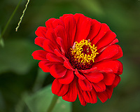 Red Zinnia wildflower in my garden. Image taken with a Fuji X-T2 camera and 100-400 mm OIS telephoto zoom lens