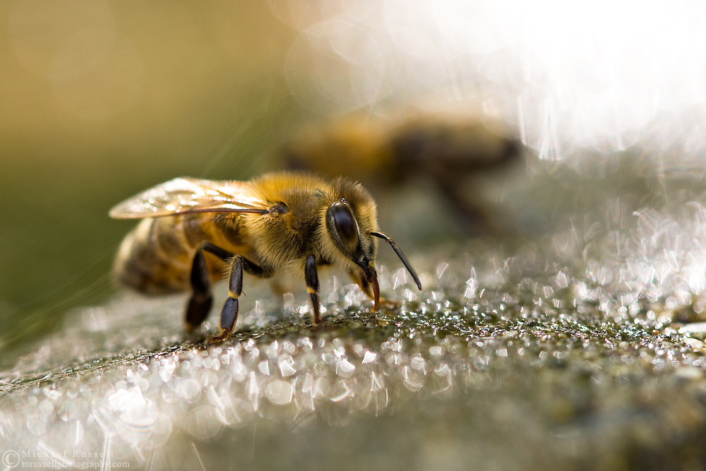 Honeybee (Apis mellifera) drinking water from the edge of a birdbath.