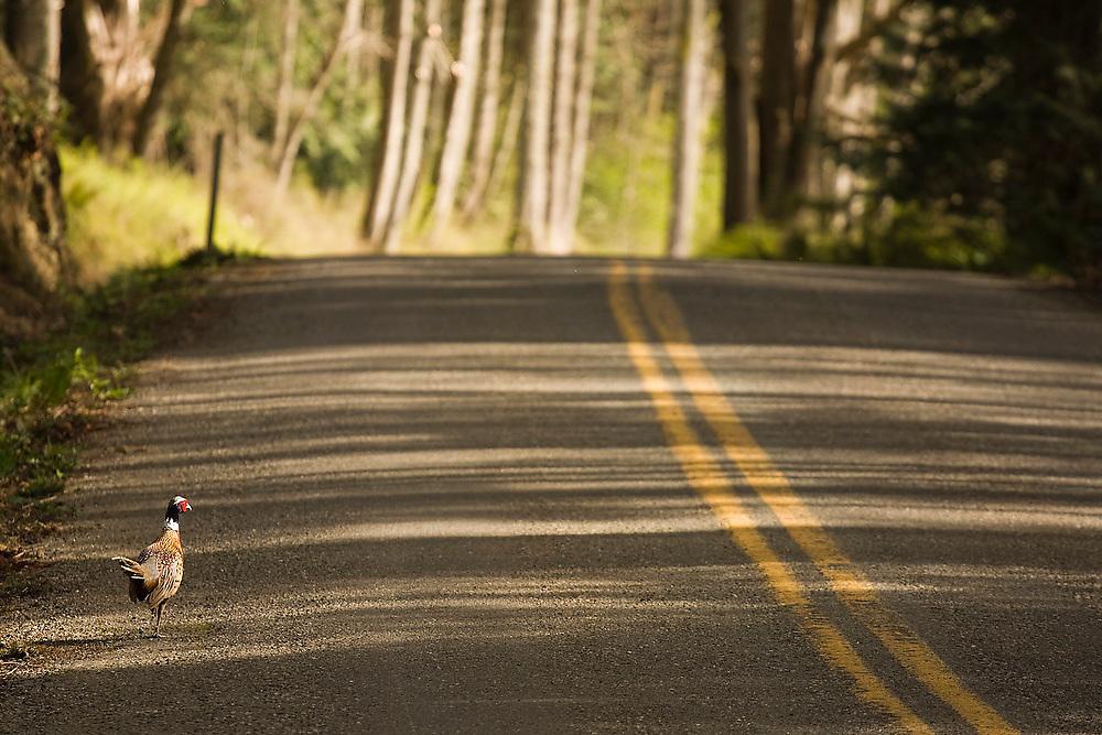 A wild pheasant walks along a road on Guemes Island, San Juan Islands, Washington.