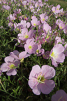 Pink Evening Primrose (Oenothera speciosa), Travis County, Texas