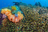 Golden Sweepers and Soft Corals<br /> <br /> Shot in Indonesia