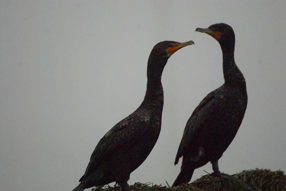 Double-Crested Cormorants (Phalacrocorax auritus), Castine, Maine, US