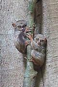 Two spectral tarsiers, Tarsius tarsier, on a tree branch at dusk on a tree branch at dusk