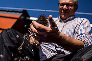Opening sea urchin in the tradional way of Cadaques using a knife and bare hands. Cadaques, Costa Brava, Spain
