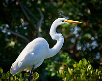 Great Egret. Biolab Road, Merritt Island National Wildlife Refuge. Image taken with a Nikon D4 camera and 500 mm f/4 VR lens (ISO 900, 500 mm, f/8, 1/2000 sec).