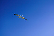 Seagull in flight on a blue sky background. Photographed on the Greek island of Thasos, Greece