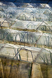 Glass cloches at Little Trevean Nursery, Penzance