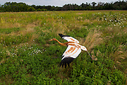 Direct Autumn Release, D.A.R., Whooping Crane reintroduction program at the International Crane Foundation, ICF.  Direct Autumn Release, D.A.R., Whooping Crane reintroduction program at the International Crane Foundation, ICF.