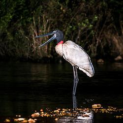 Cegonhas, Tuiuíus - Ciconiiformes / Storks