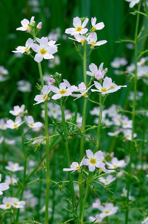 WATER-VIOLET Hottonia palustris (Primulaceae) Aquatic<br /> Attractive and rather delicate perennial of still or slow-flowing waters. FLOWERS are 20-25mm across, 5-lobed and pale lilac with a yellow central 'eye'; borne in spikes on tall, hairless stems rising clear of the water (May-Jun). FRUITS are capsules. LEAVES are feathery and divided into narrow lobes; seen both floating and submerged. STATUS-Very locally common in S and E England but scarce or absent elsewhere.