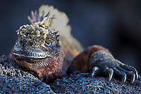 Closeup portrait of a Marine Iguana, Galapagos. Wildlife and animal photography wall art for sale. Fine art photography prints.
