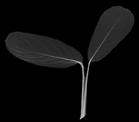 X-ray image of a prayer plant (Maranta leuconeura, white on black) by Jim Wehtje, specialist in x-ray art and design images.