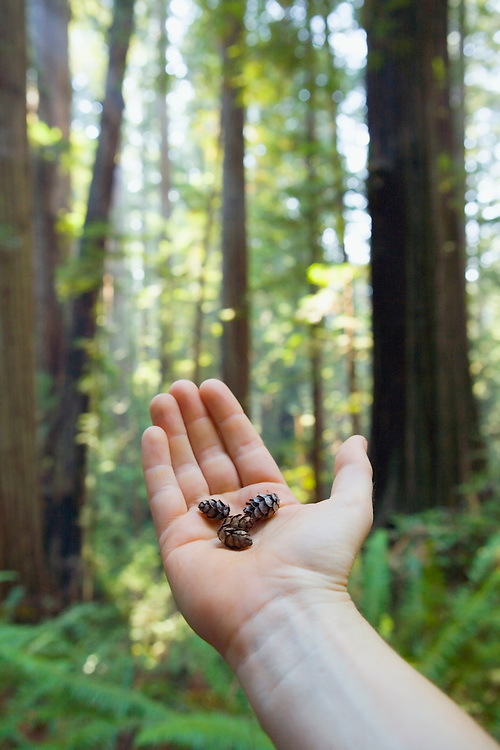 Holding small pine cones in palm of hand with redwood trees in background.