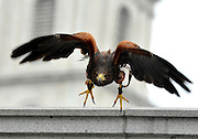 © Licensed to London News Pictures. 13/03/2012. London, UK. Lizzie in flight. Wayne Parsons flies Lizzie, aged 3, the American Harris Hawk in London's Trafalgar Square today. Wayne and Lizzie are employed by the Greater London Authority to control the pigeon population in the famous square. Lizzie was reared from birth by Wayne but not 'imprinted', meaning she retains her natural ability to hunt. Lizzie only catches 5 or 6 pigeons a year as the very site of her scares them away.  Photo credit : Stephen SImpson/LNP