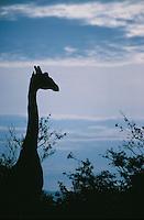 A silhouetted giraffe in the Maasai Mara National Park, Kenya