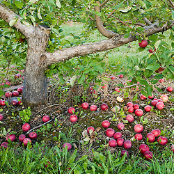 Apples on the ground at Green Mountain Orchards in Putney, Vermont.