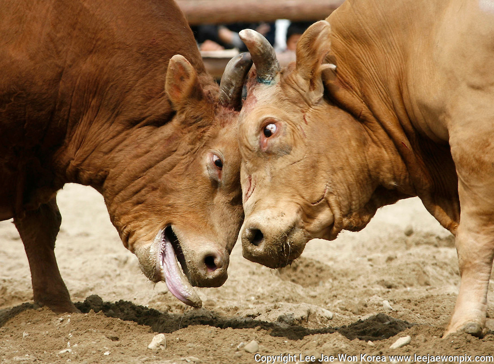 South Korean bulls Jjakppul (L) and Turbo lock horns during the 2008 bullfighting festival in Cheongdo, about 360 km (224 miles) southeast of Seoul April 13, 2008. /Lee Jae-Won