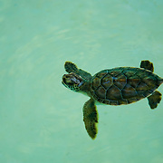 Green turtle on enclosure. Xcaret. Quintana Roo, Mexico.