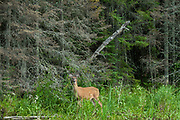 White-tailed deer (Odocoileus virginianus) on shore of Lake of the Woods<br />Lake of the Woods District<br />Ontario<br />Canada