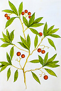 Historical illustration of a Arbutus unedo (strawberry tree) shrub. Published c. 1540 in codex Amphibiorum