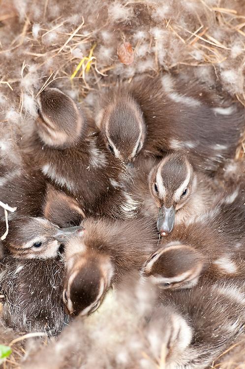 Northern Pintails, Anas acuta, ducklings in nest, Yukon Kuskokwim Delta NWR, Alaska