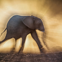 A young elephant descending into a dry river bed, Mashatu, Botswana.  Taken 5 July 2015.  I wanted to use the early morning light and risen dust to isolate the elepnat in the foreground.  The soft, golden dust in the background is meant to be a subtle backdrop.  I used Adobe Lightroom 6 for post-processing.  This included cropping, dust removal.  I also corrected the profile.  Global exposure was lifted by 0.3 and shados increased 30%.  Global contrast increased by 30%. Highlights decreased by 40% since I was shooting into the sun.  Global sharpening was done by 20%.
