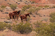 Small herd of Wild Horses roaming the desert in southern Nevada.Herd consists of one Stallion, three mares and one foal