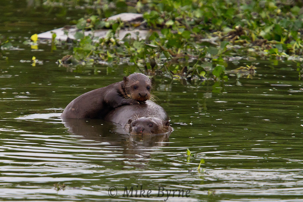 Giant Otters (Pteronura brasiliensis) feeding in a Pantanal pond near Araras Eco Lodge (Pantanal, Mato Grosso, Brazil)