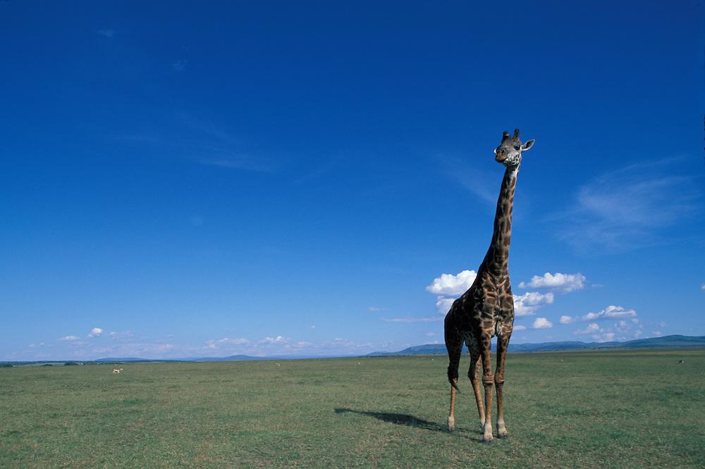 Kenya, Masai Mara Game Reserve, Giraffe (Giraffa camelopardalis) on savanna in afternoon sun