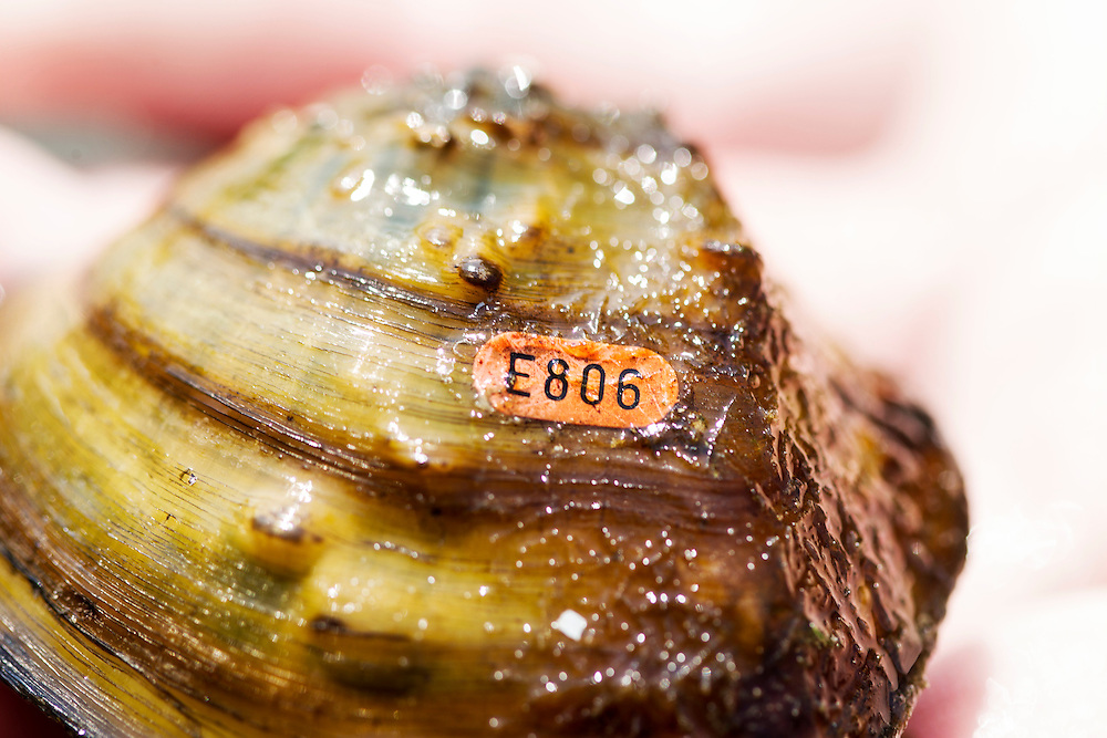 A Winged Mapleleaf mussel with a tag is found near Pike Island in the Mississippi River August 14, 2015. This federal critically endangered river mussel has been reintroduced to the area.