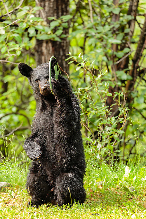 Black bear (Ursus americanus) cub playing with flower hanger in Southcentral Alaska. Summer. Morning.