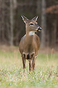 White-tailed Deer in the meadow, Great Smoky Mountains National Park