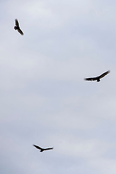 Turkey Vultures (Cathartes aura) soaring in the sky