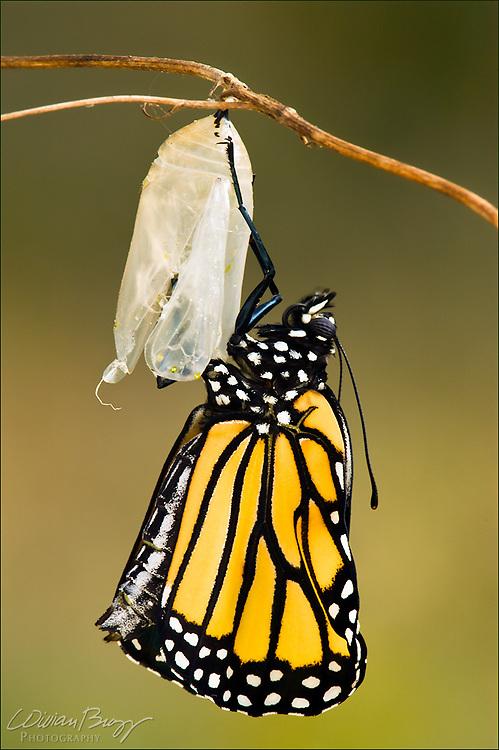 Emerging Monarch butterfly (Danaus plexippus)
