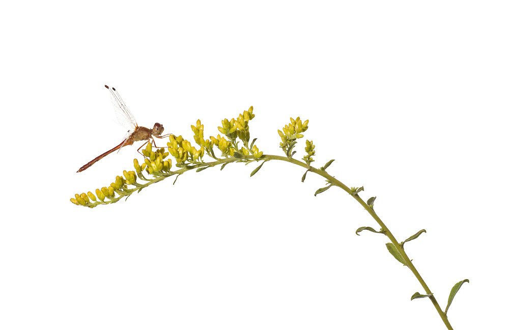 Dragonlet Sp (Erythrodiplax sp) on Early Goldenrod (Solidago juncea)
