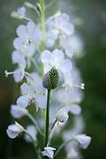 Allium sphaerocephalon and Chamerion angustifolium 'Album'