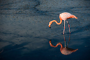 Greater flamingo (Phoenicopterus roseus) <br /> Cerro Dragon<br /> Santa Cruz Island<br /> GALAPAGOS ISLANDS,<br /> Ecuador, South America