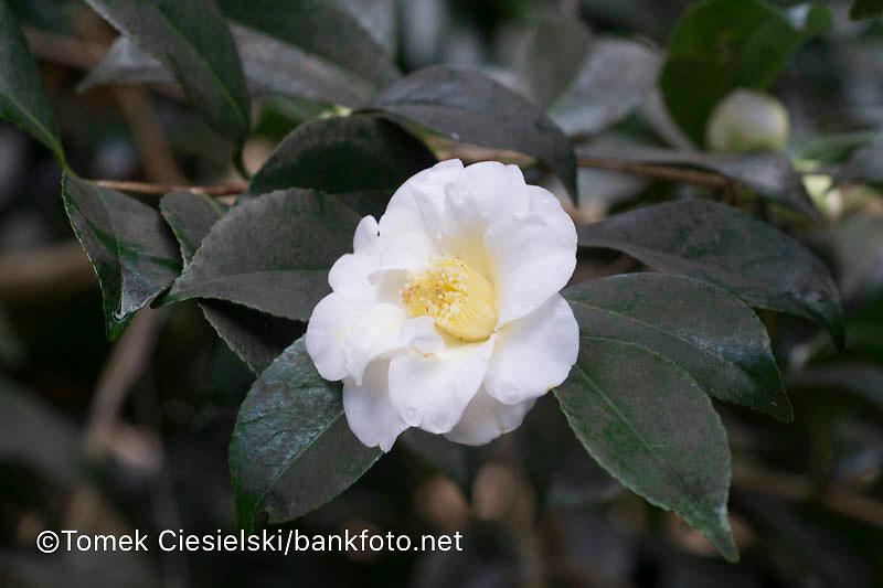 Camellia x williamsii 'Sea Foam'