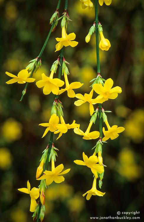 Jasminum nudiflorum. Winter jasmine