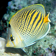 Dot & Dash Butterflyfish inhabit reefs. Picture taken Fiji.