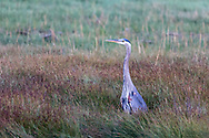 A Great Blue Heron (Ardea herodias) stands warily in the marshes at Blackie Spit in Surrey, British Columbia, Canada.
