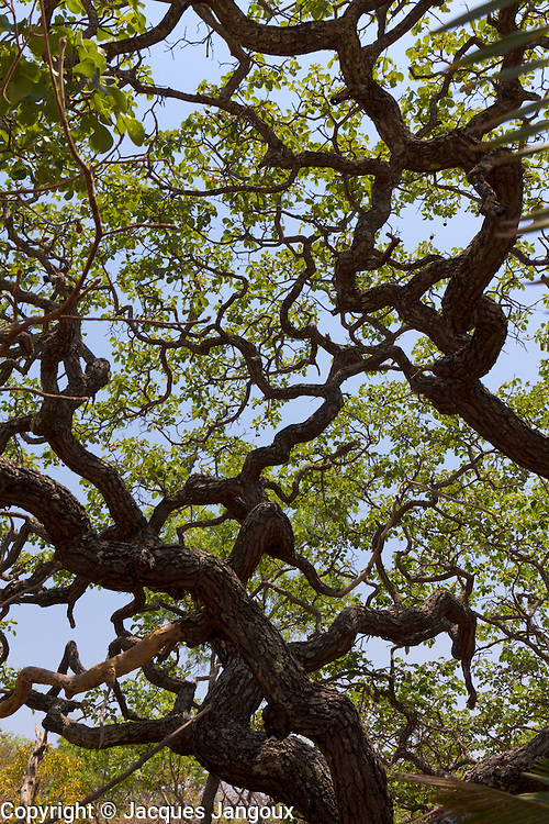 Typical contorted tree in savanna (called  cerrado in Brazil) biome, limite entre Minas Gerais e Bahia State, Brazil