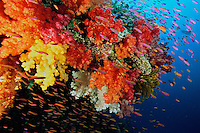 A school of anthias swimming near a reef wall of soft coral.