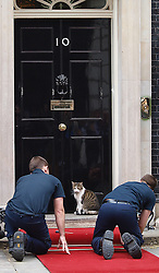 Larry, one of cats living in the British Prime Minister's residence of 10 Downing Street looks at 2 workmen laying down a red carpet for visiting Russian president Vladimir Putin  Sunday June 16, 2013. Photo by: Max Nash / i-Images