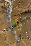 Red-fronted macaws (Ara rubrogenys), Bolivia.